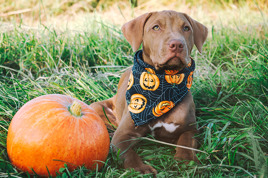 A chocolate lab puppy next to a pumpkin