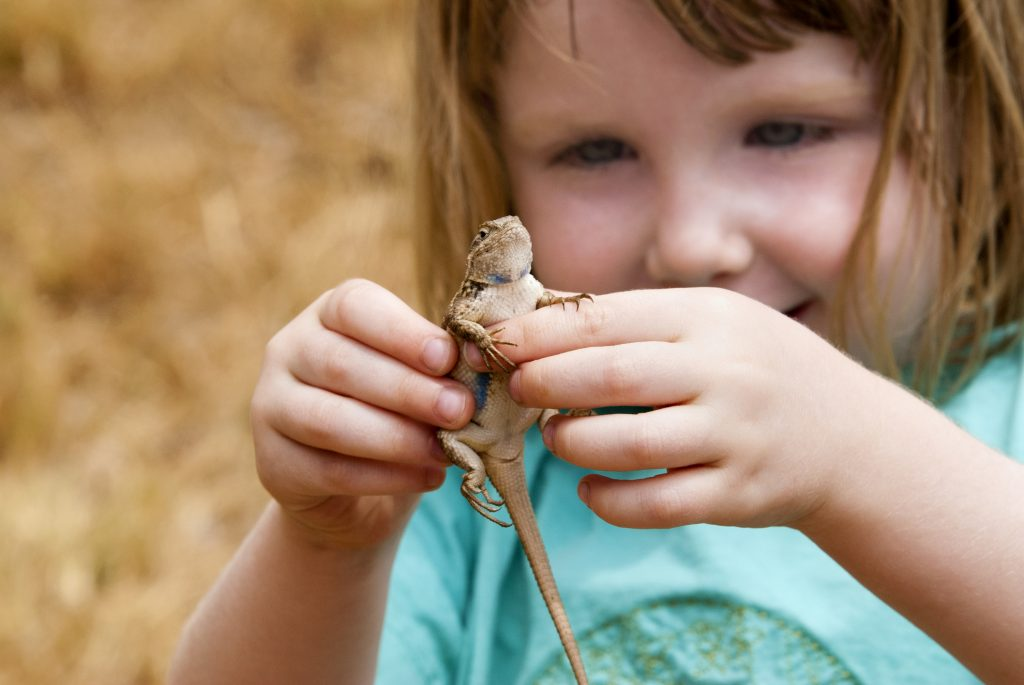Smiling 4-year-old girl holding a lizard she just caught – a Western Fence Lizard, also known as a Blue Belly, Swift Lizard, or Sceloporous Occidentalis.