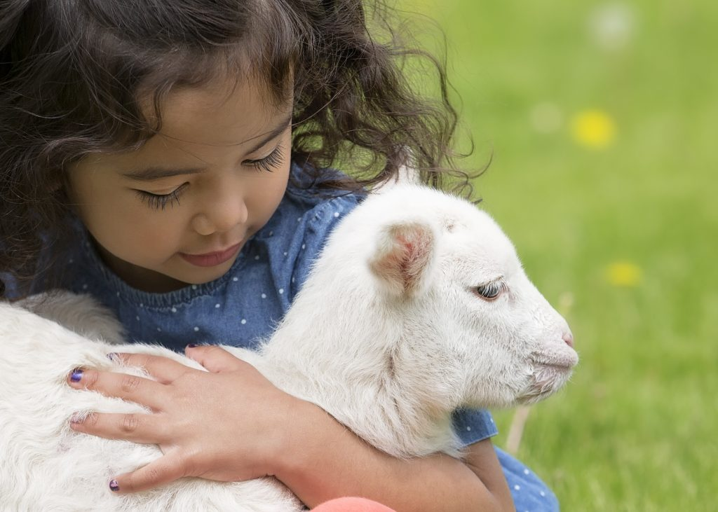 Young, Asian-American girl holding a baby lamb in her lap.