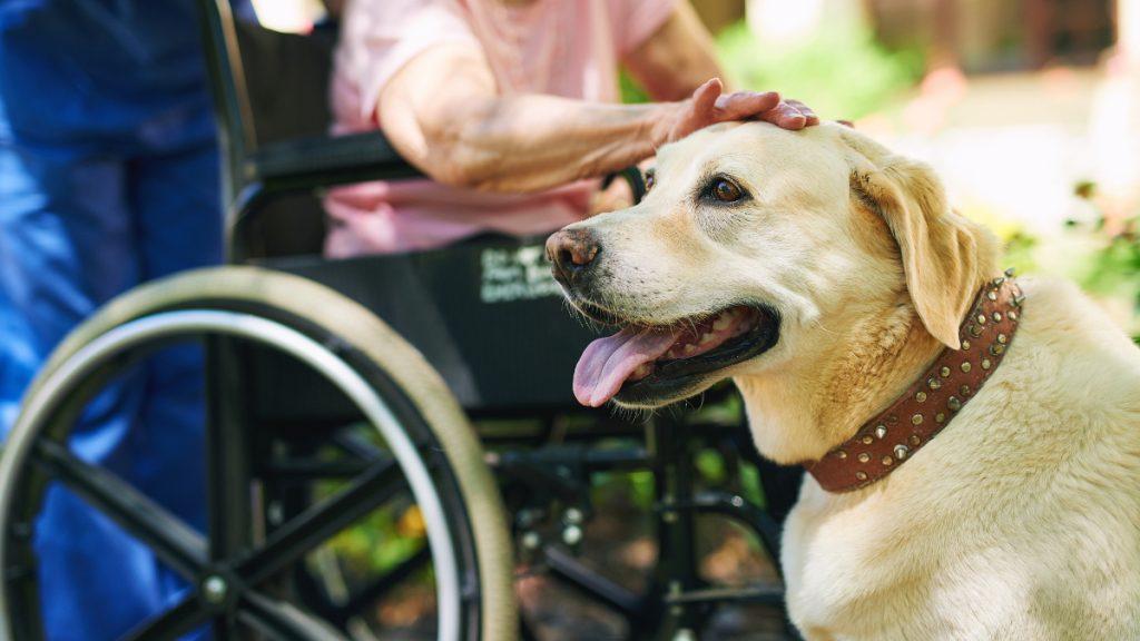 A labrador retreiver and a senior citizen